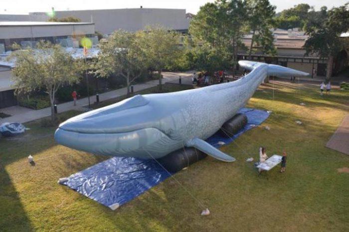 Baby Blue: Aufblasbarer Blauwal für Bildungszwecke